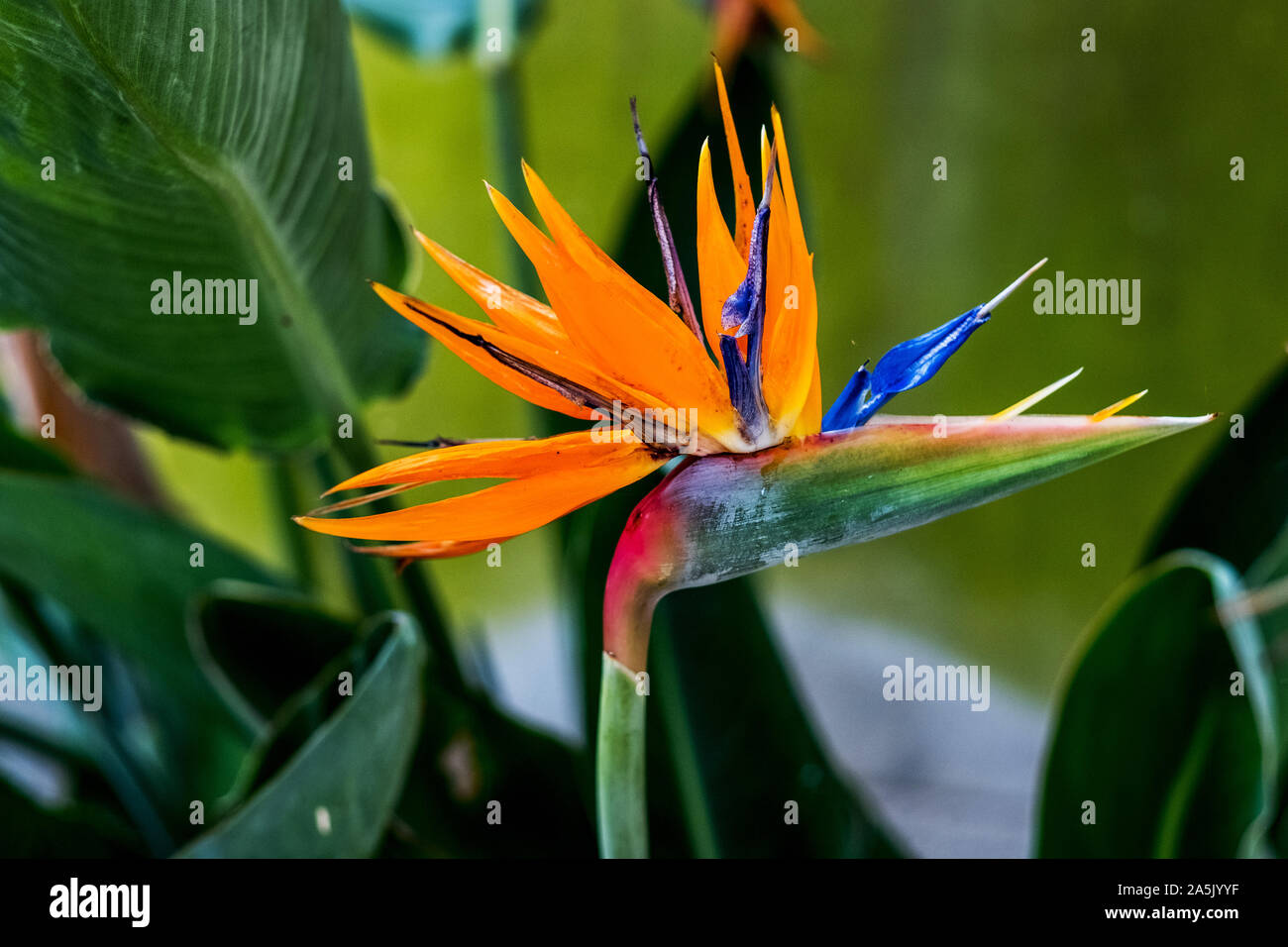 Close up d'une orange blossom Strelitzia. Banque D'Images