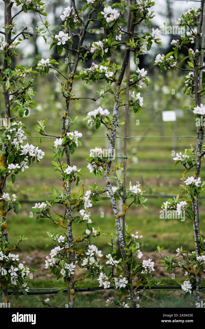 Close up de fleurs blanches sur les branches au printemps. Banque D'Images