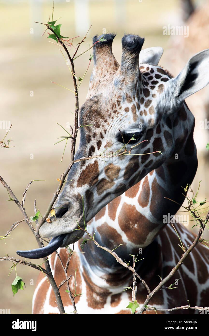 Une giraffe réticulée, Giraffa camelopardalis, d'alimentation. Zoo du Comté de Cape May, New Jersey, USA Banque D'Images