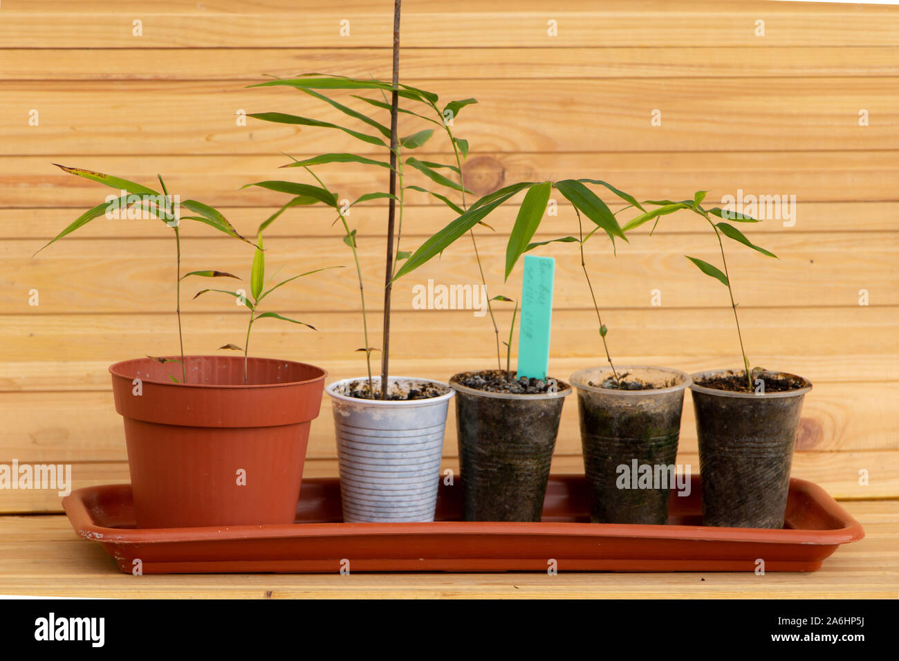 Comment Faire Pousser Bambou moso bamboo photos & moso bamboo images - alamy