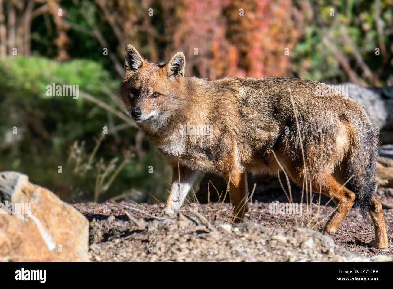 Le chacal doré (Canis aureus) Canidé originaire d'Europe du Sud-Est et l'Asie Banque D'Images