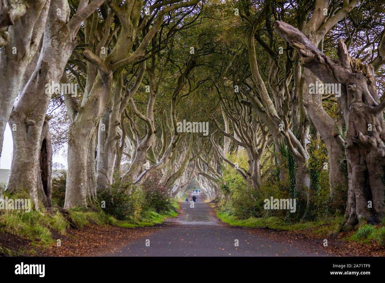Le Dark Hedges près de Ballymoney, en Irlande du Nord Banque D'Images