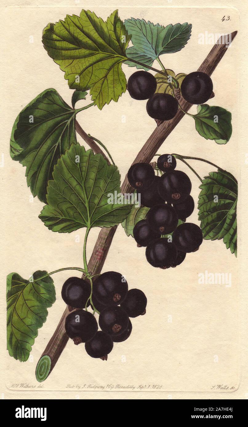 Black Currant Illustration Banque D Image Et Photos Alamy