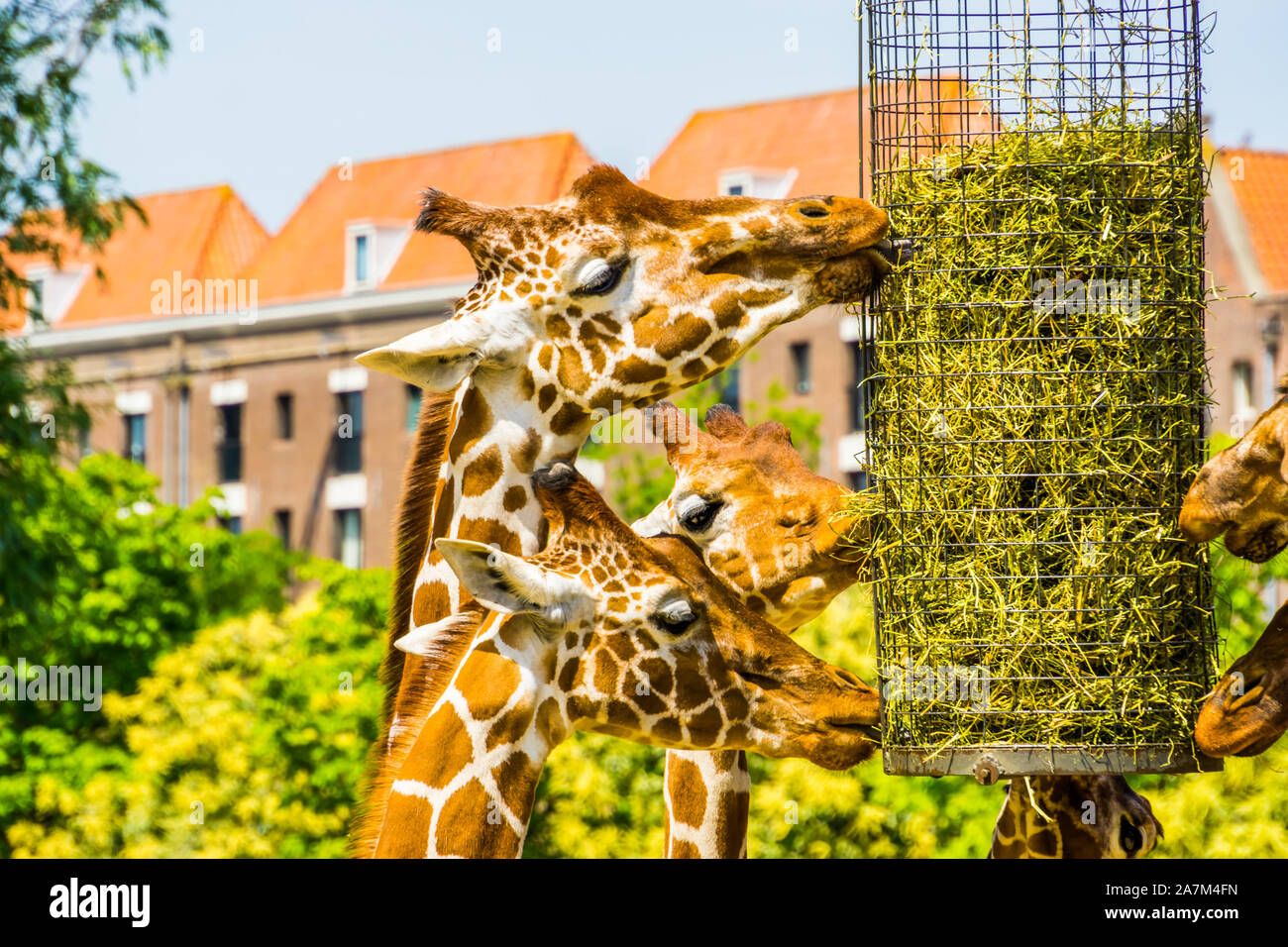 Les Girafes somaliens eating hay à partir d'un panier, d'équipement d'alimentation des animaux de zoo, en voie de disparition Espèce animale d'Afrique Banque D'Images
