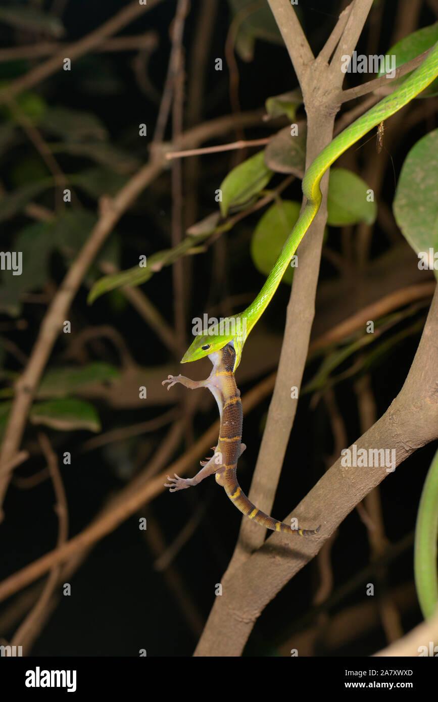 Tuer le serpent de vigne, Ahaetulla nasuta, Gecko Matheran, Maharashtra, Inde Banque D'Images