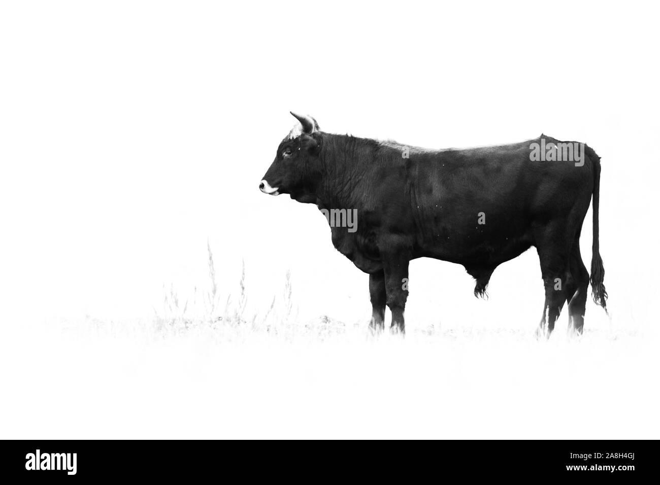 Bovins Heck (Bos primigenius f. taurus), bull dans un pâturage en fin de soirée, la tentative de retour de la race disparue l'aurochs (Bos primigenius), Hongrie Banque D'Images