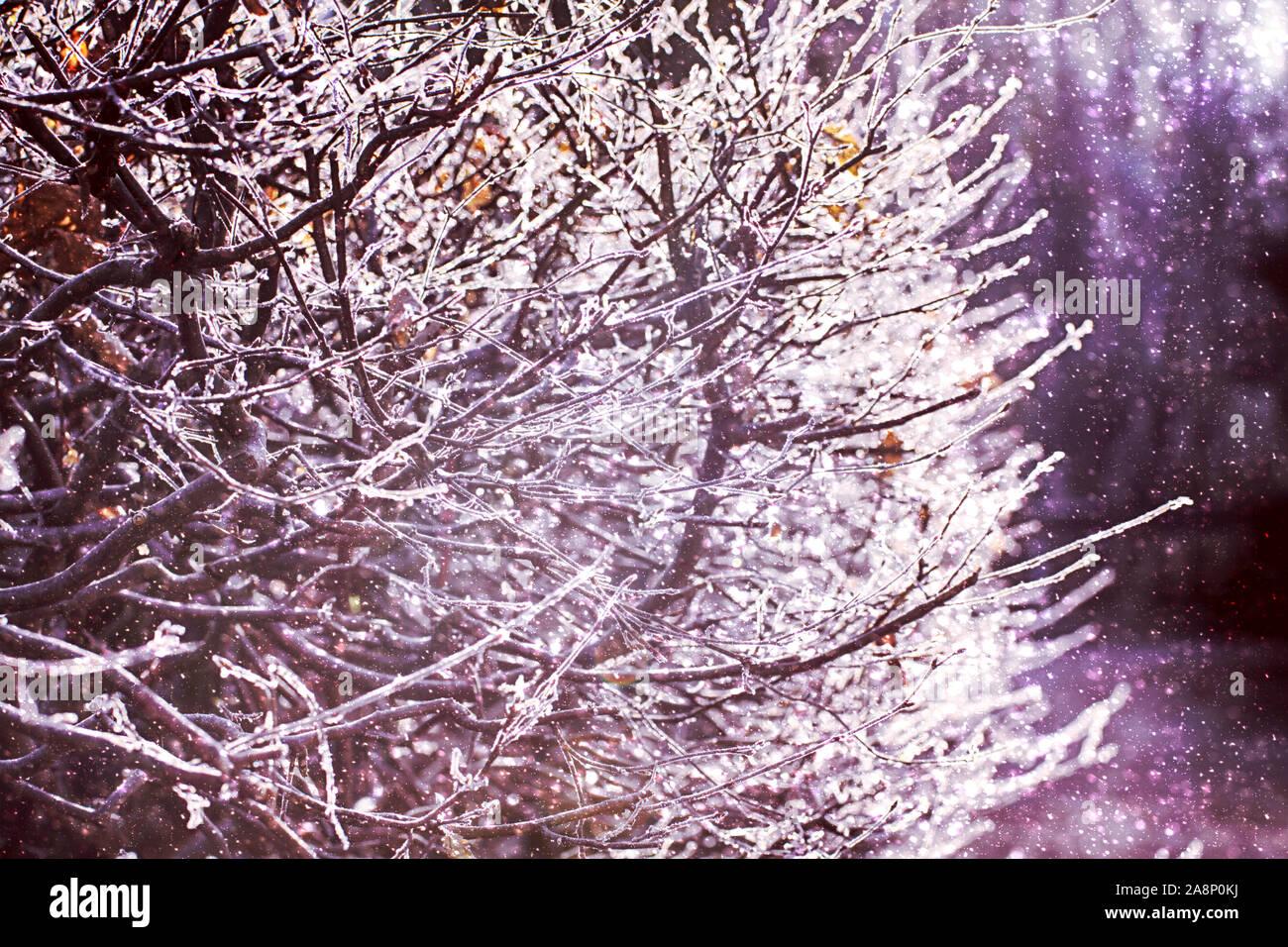 Des brindilles d'arbres gelés en contre-jour, journée d'hiver avec du soleil et de la neige Banque D'Images