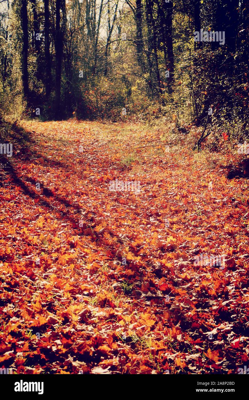 La Bavière, Allemagne - beau tapis rouge de feuilles tombées sur un chemin d'automne dans la forêt dans une journée ensoleillée d'octobre Banque D'Images