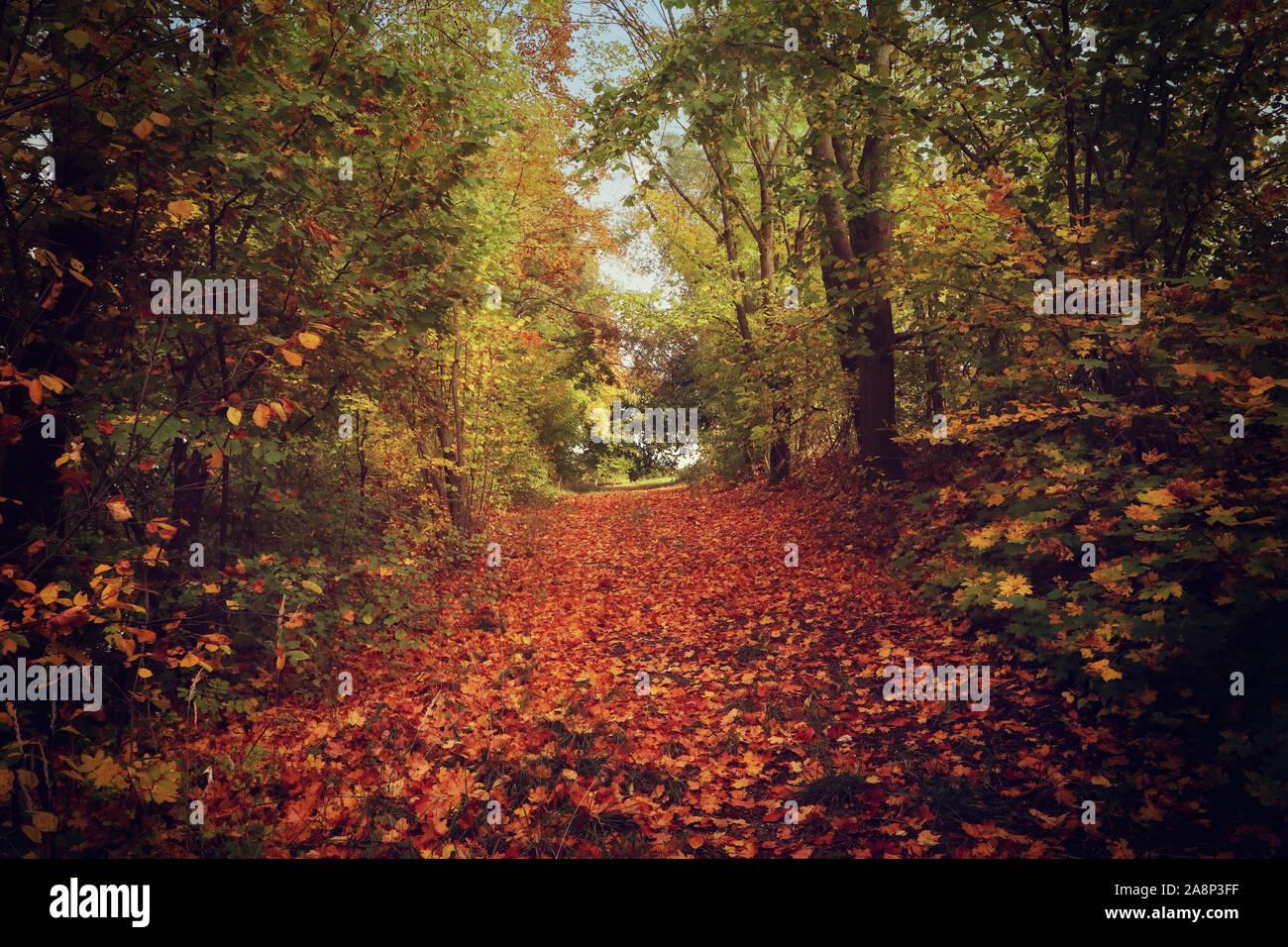La Bavière, Allemagne - beau tapis rouge de feuilles tombées sur un chemin dans la forêt d'automne Banque D'Images
