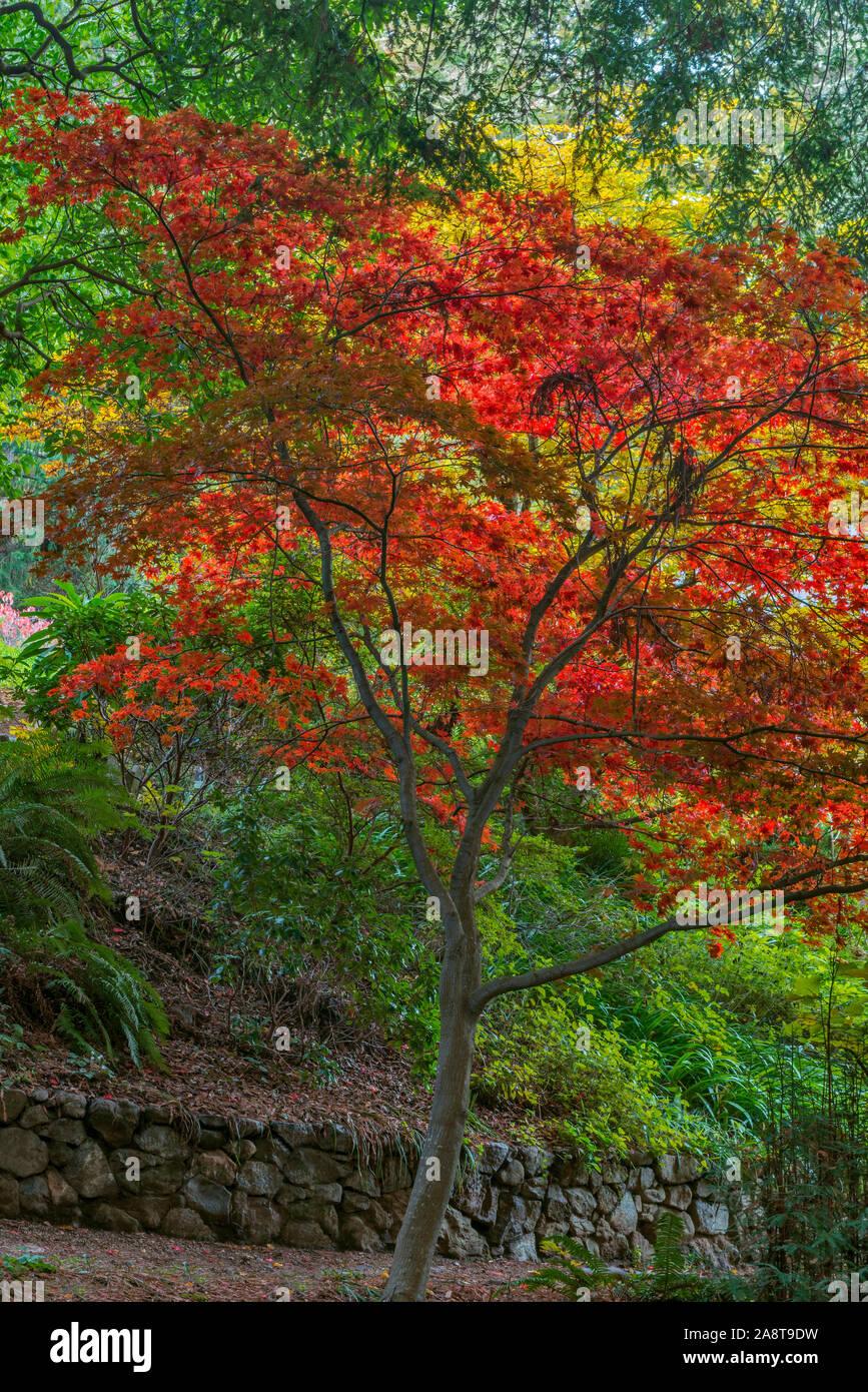 L'érable japonais, Fern Canyon Jardin, Mill Valley en Californie Banque D'Images