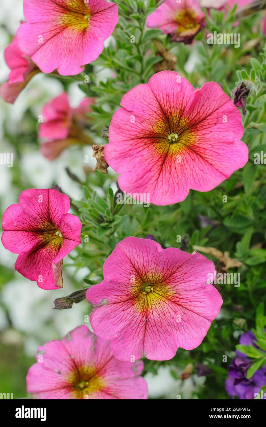 5 X Arrière Petunia Calibrachoa Millions Bells double bleu PLUG plantes