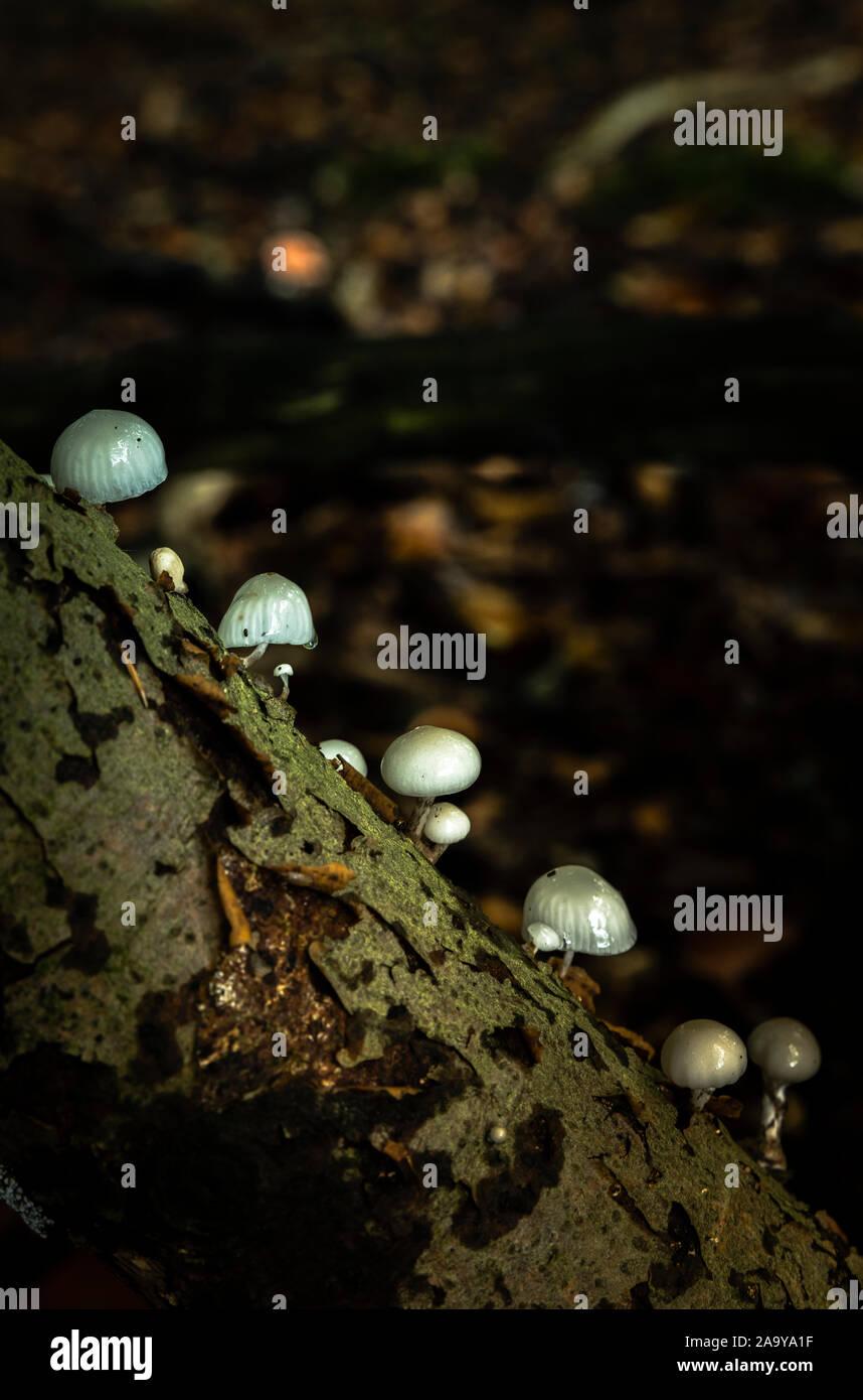 Petits champignons miniatures , l'oudemansiella mucida comme phares sur une branche dans la forêt au cours de l'automne Banque D'Images