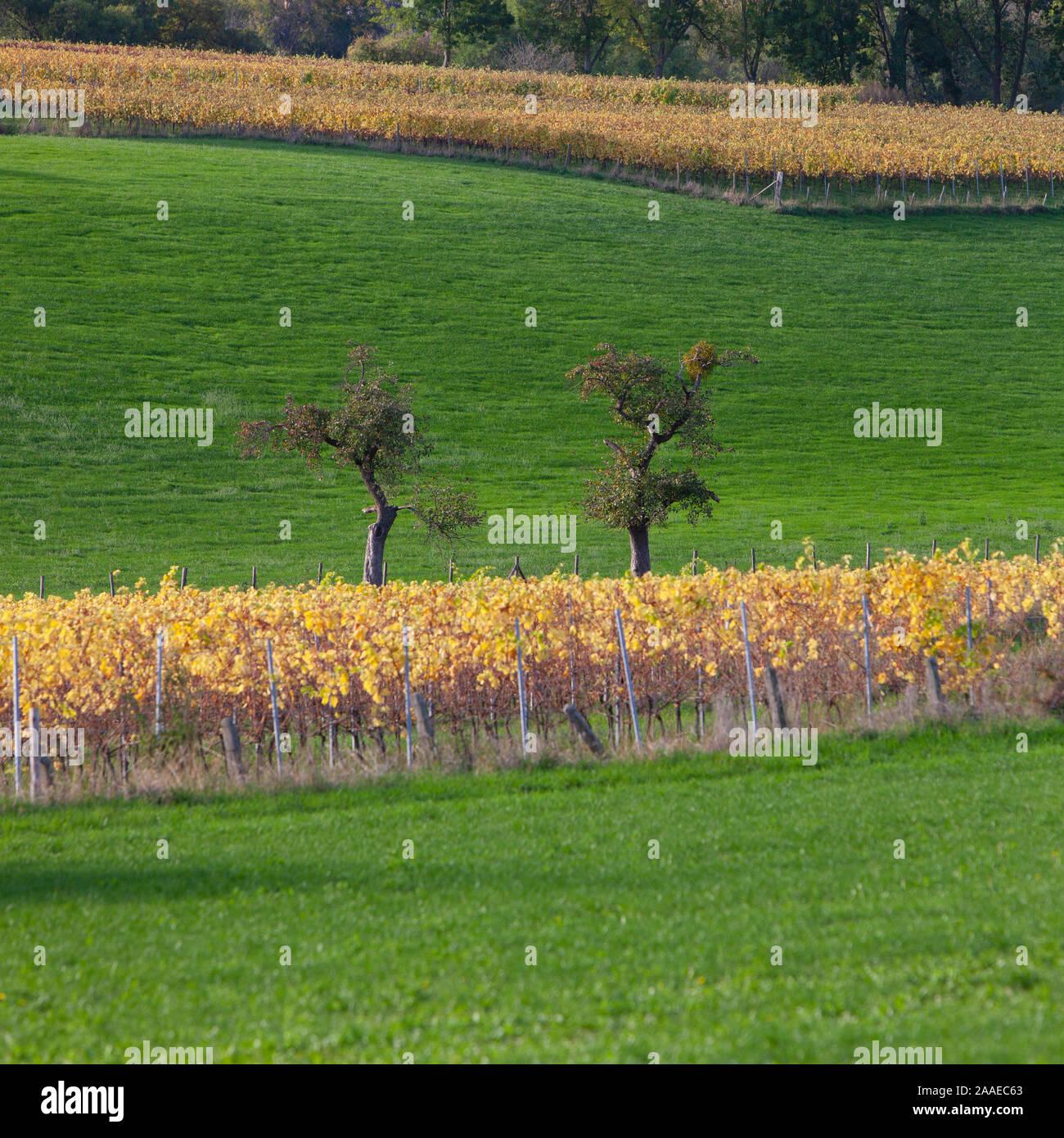 Des arbres fruitiers en prairie et feuilles jaunes sur vigne en province de Limbourg du Sud Banque D'Images
