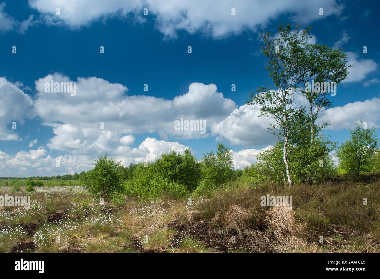 Landschaft mit Wollgras Banque D'Images