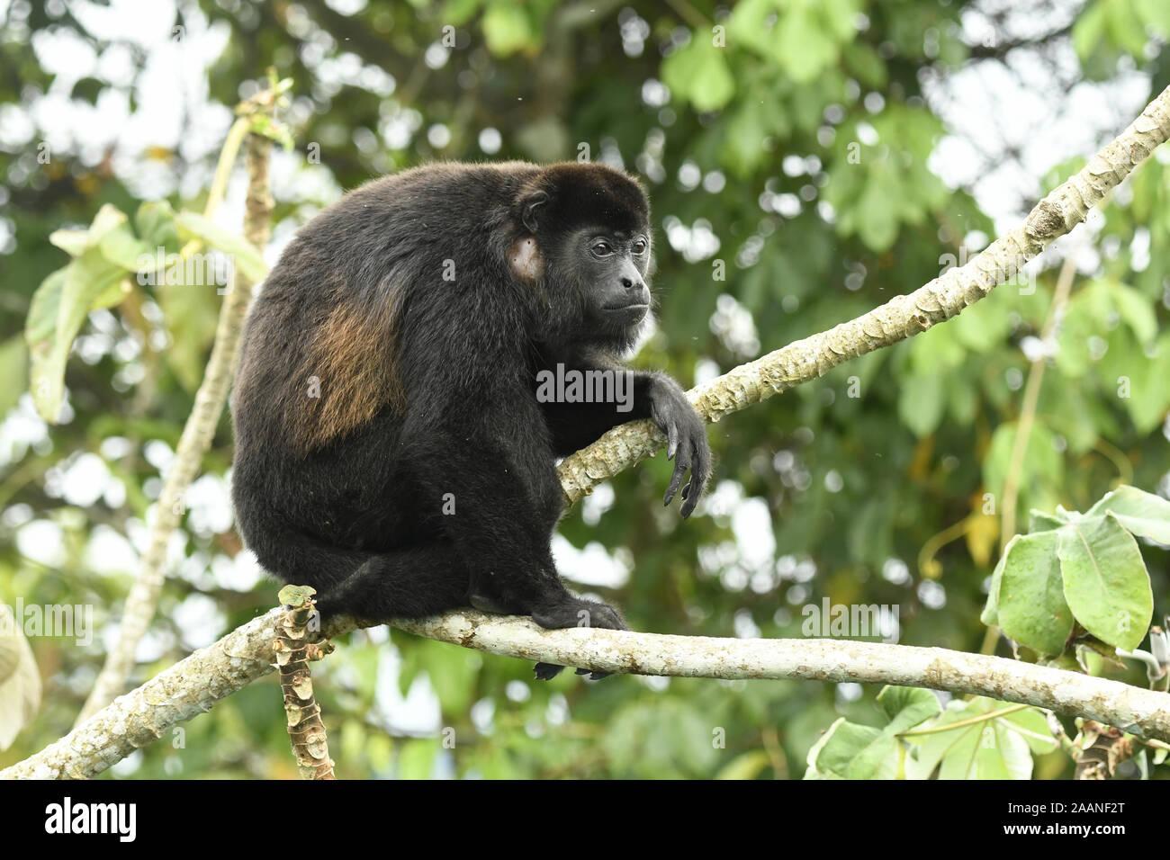 Manteau Singe hurleur (Alouatta palliata) assis dans adultes arbre cecropia, Parc National de Soberania, Panama, octobre Banque D'Images