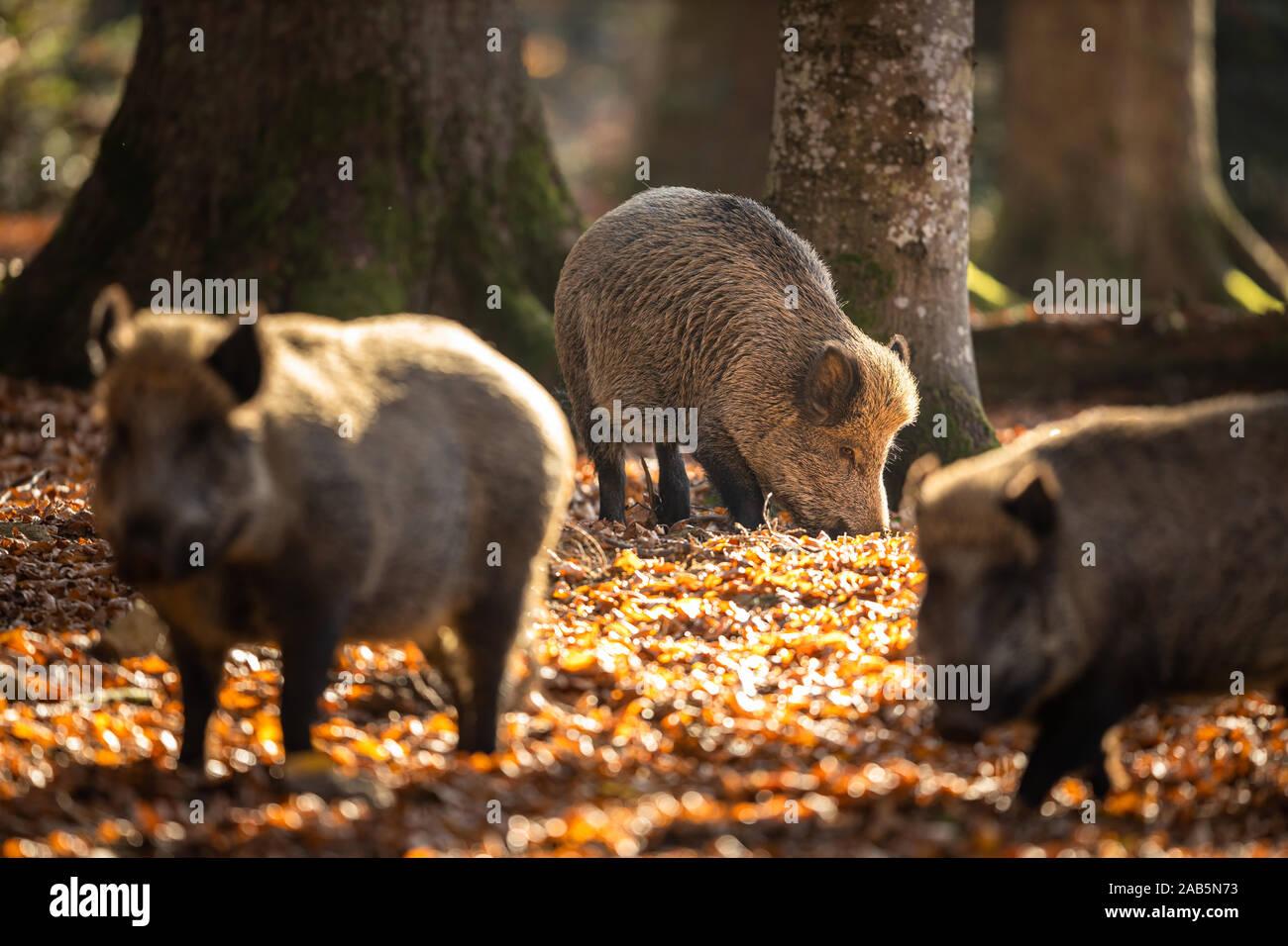 Le sanglier (Sus scrofa, également connu sous le nom de porcs sauvages, le canard cochon sauvage Banque D'Images