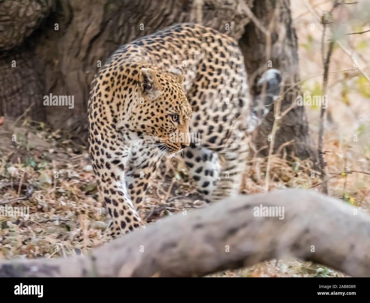 Une femelle adulte leopard (Panthera pardus), le parc national de South Luangwa, en Zambie, l'Afrique Banque D'Images