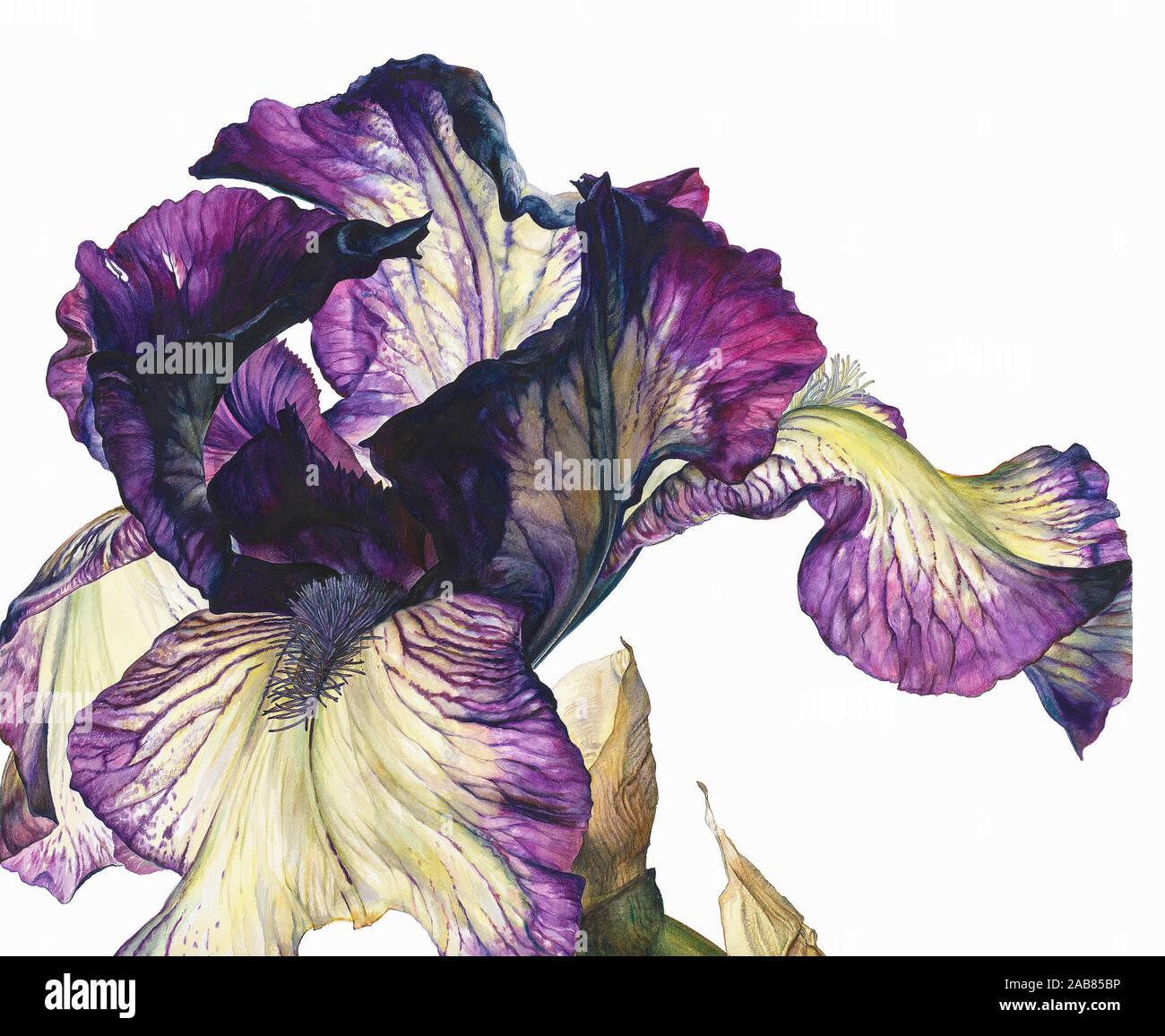 Dancer's Veil iris Banque D'Images