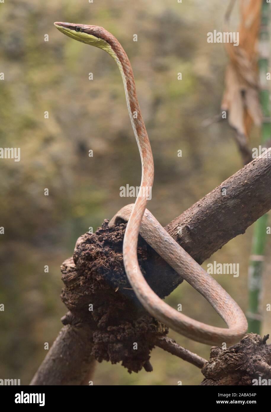 La serpent de vigne (oxybelis brevirostris), l'Équateur. Banque D'Images
