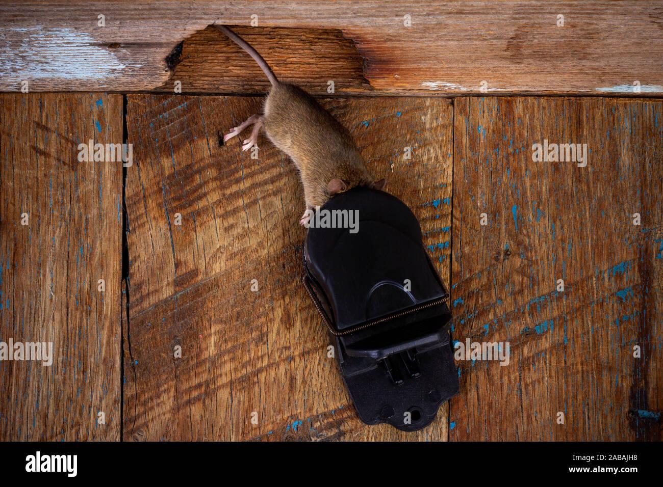 Souris Grimpe Au Mur rat in mouse trap photos & rat in mouse trap images - alamy