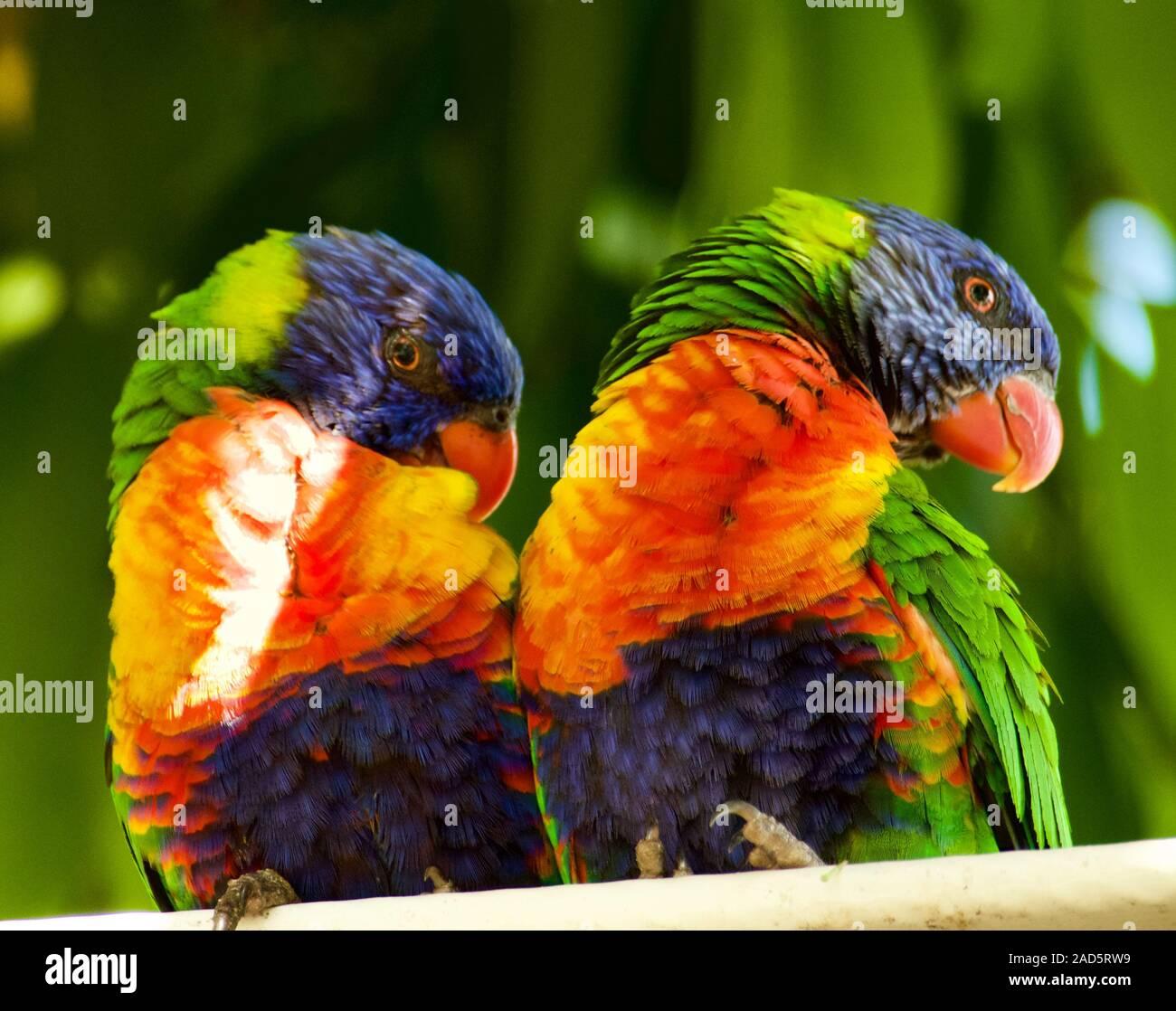 Rainbow loriquets verts australiens Trichoglossus haematodus. Trouvés à Hamilton Island, Whitsundays, Australie. Banque D'Images