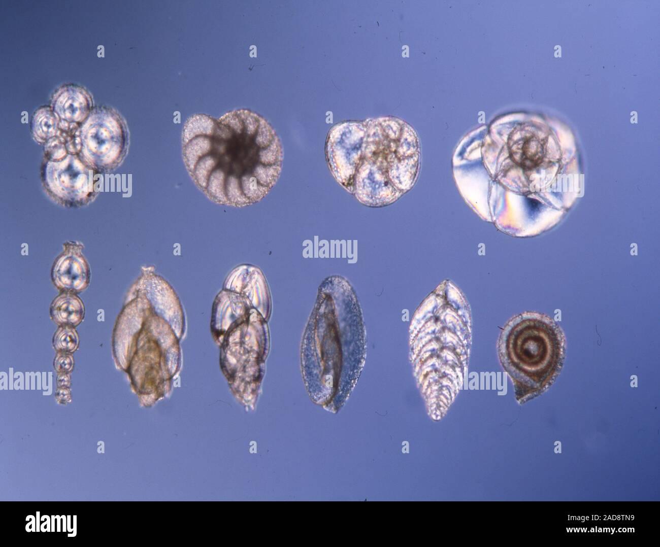 Les petits organismes foraminifères de l'eau de mer Banque D'Images