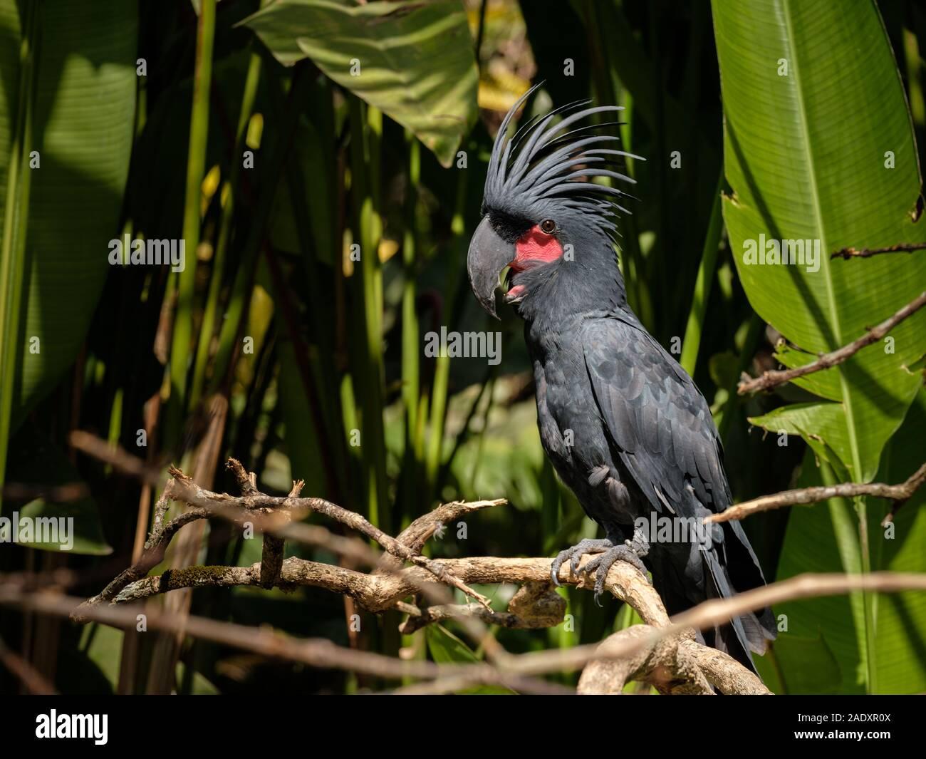 Black parrot extraordinaire avec les joues rouges assis sur une branche à Bali Bird Park Banque D'Images