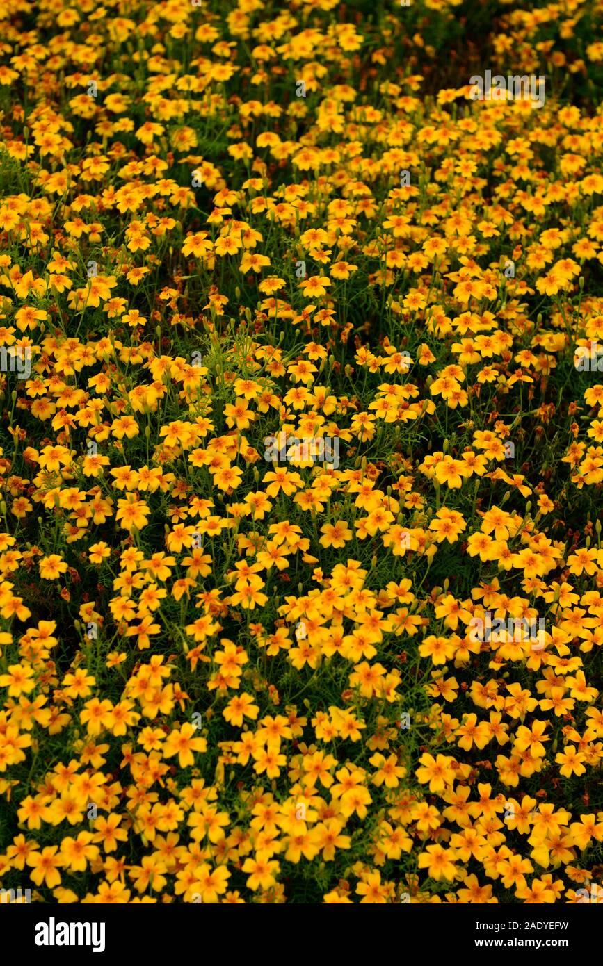 annuelles Marigold DURANGO BOLERO-Type Français 30 graines de-tailed
