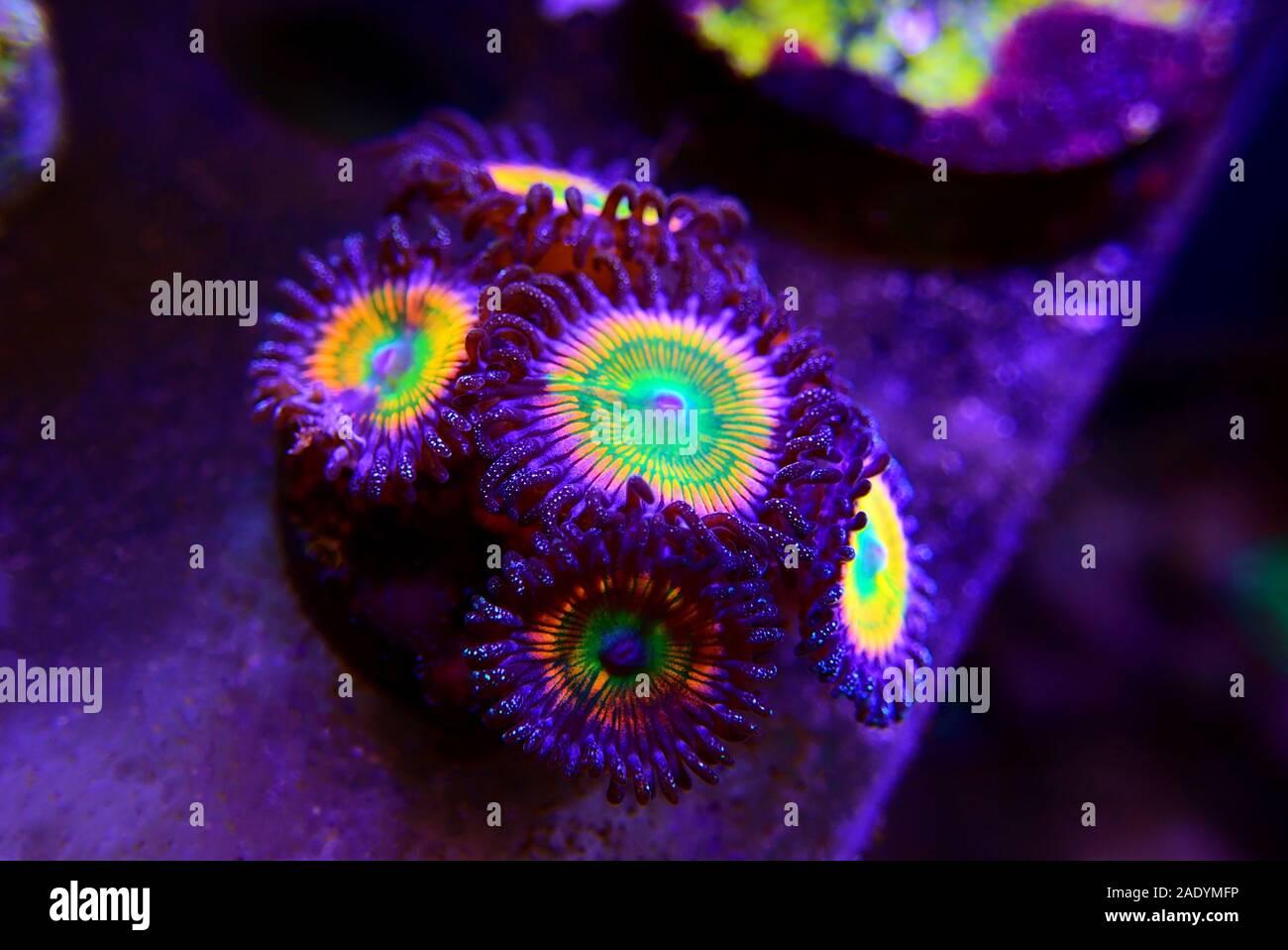 Gros plan sur Sunny D zoathids polypes spp. Banque D'Images