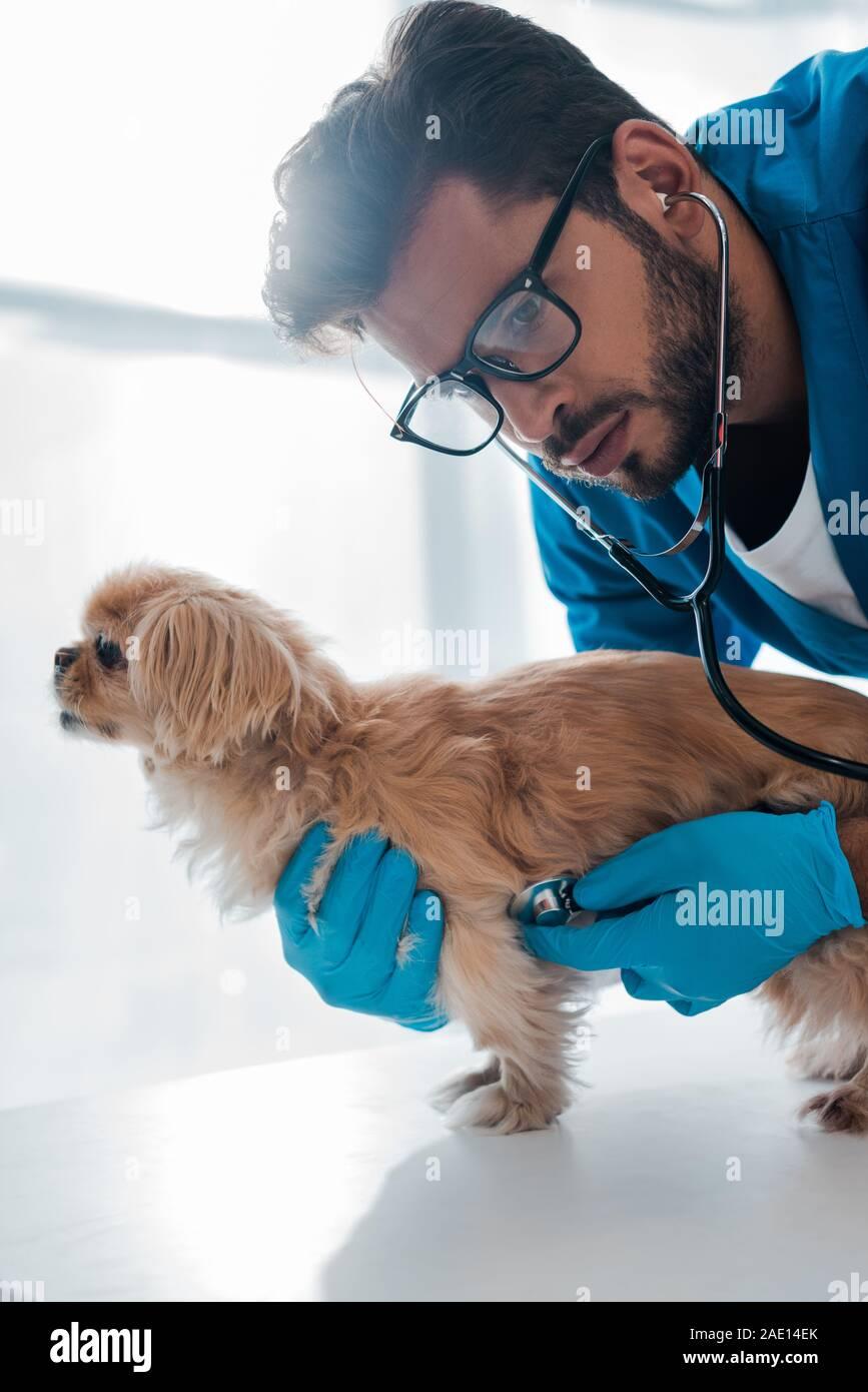 infos diverses de société - Page 29 L-examen-veterinaire-concentre-pekinois-dog-with-stethoscope-2ae14ek