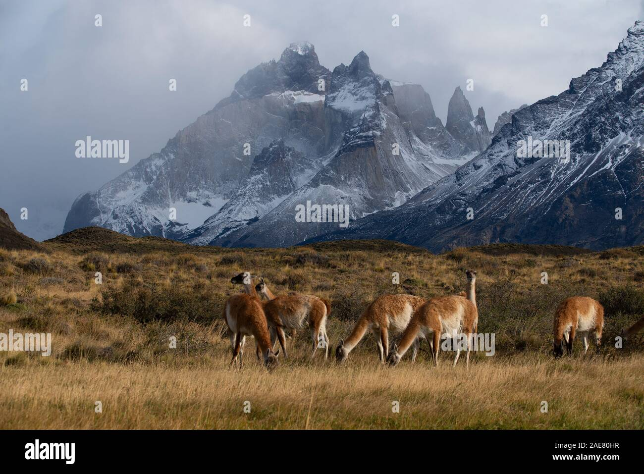 Petit groupe de guanacos pâturage dans vega à sec, avec les montagnes de la poussière derrière massif du Paine. Banque D'Images