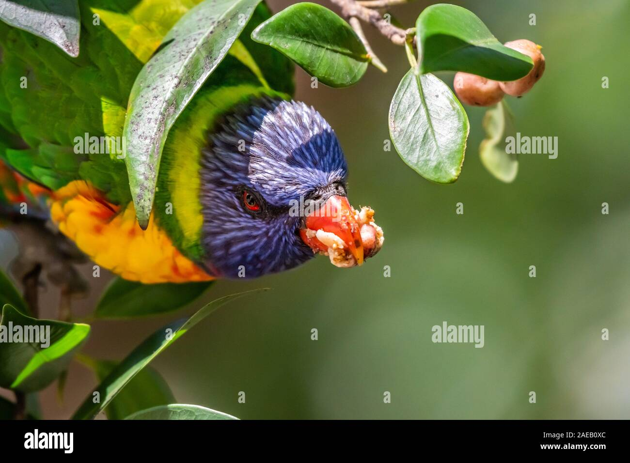 Rainbow Lorikeet [Trichoglossus moluccanus] profitant de figue Banque D'Images