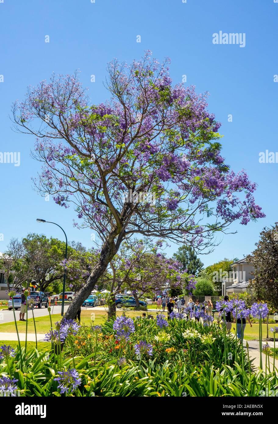 Agapanthus et Jacaranda tree en pleine floraison à St Ardross Fléron Perth Western Australia. Banque D'Images
