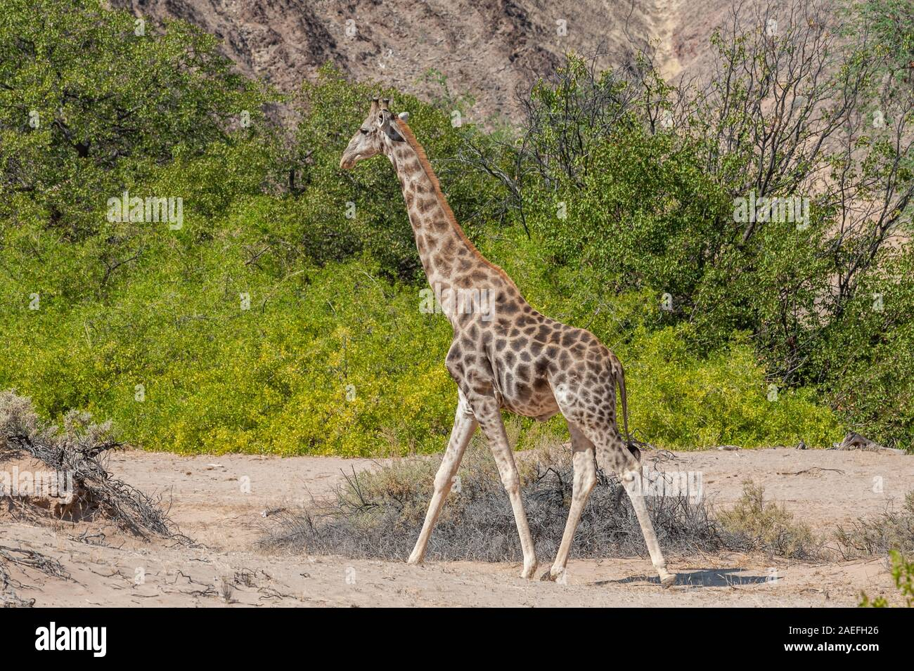 Portrait d'une girafe angolais - Giraffa giraffa angolensis- le long de la rivière Hoanib, dans le nord-ouest de la Namibie. Banque D'Images