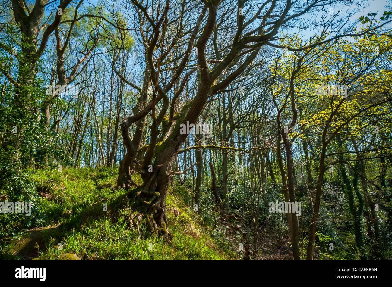 Dans les arbres surplombant la vallée de Rivelin, près de Sheffield Banque D'Images
