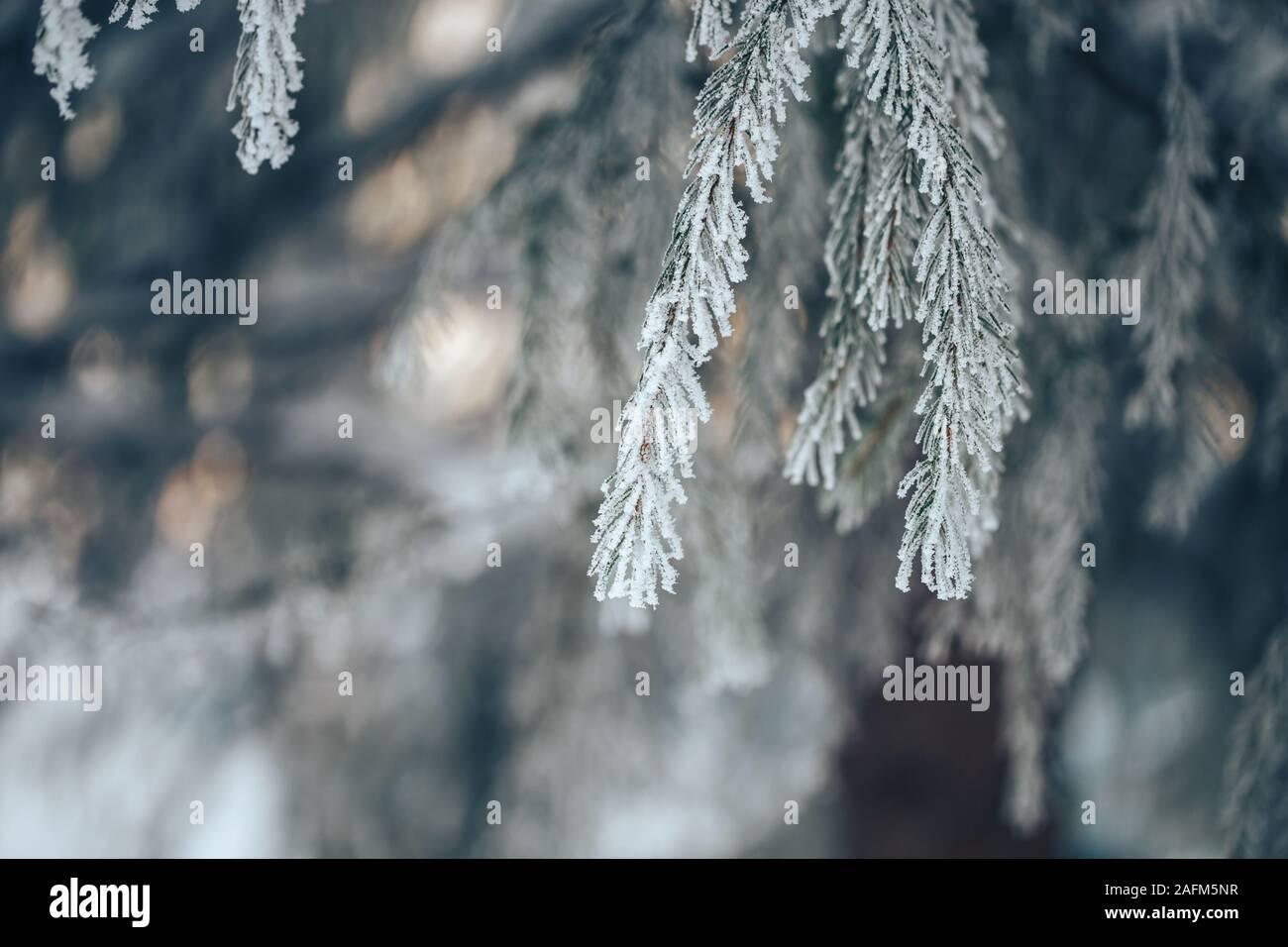 Branches de sapin bleu est couvert de givre Banque D'Images