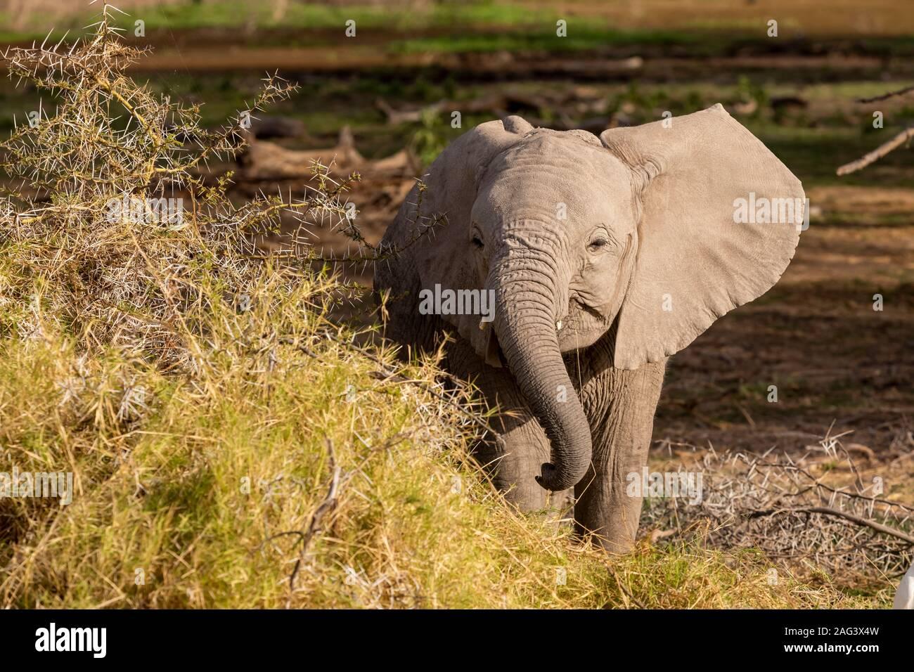 L'éléphant africain (Loxodonta africana) alimentation des veaux dans un acacia dans le Parc national Amboseli, Kenya Banque D'Images