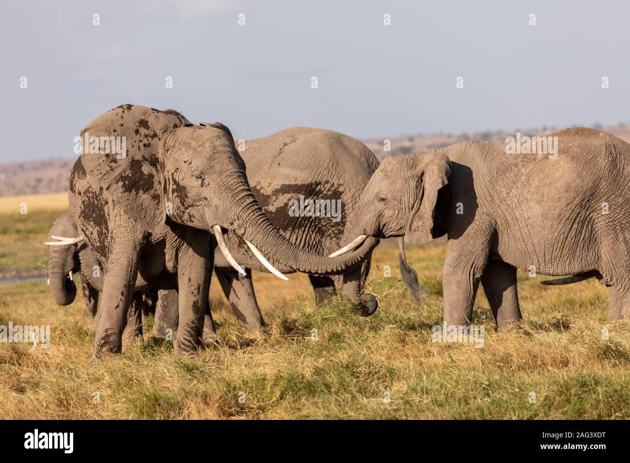 L'éléphant africain (Loxodonta africana) à l'aide de sa trompe pour saluer un autre éléphant dans la savane dans le Parc national Amboseli, Kenya Banque D'Images