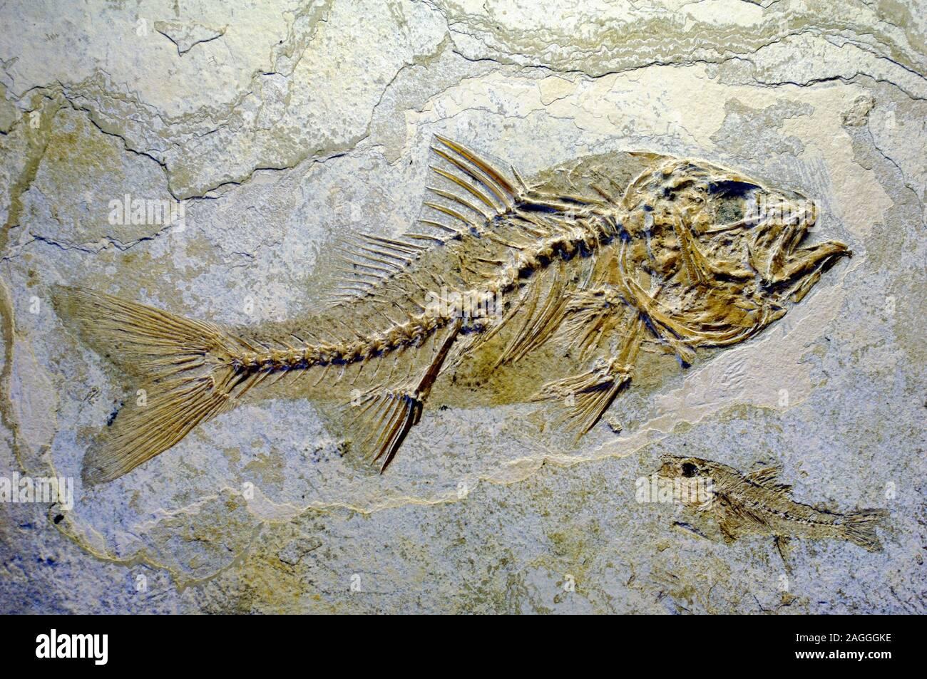 Dapalis macrurus Oligocène poissons fossiles préhistoriques disparues Poisson Ray-Finned Banque D'Images