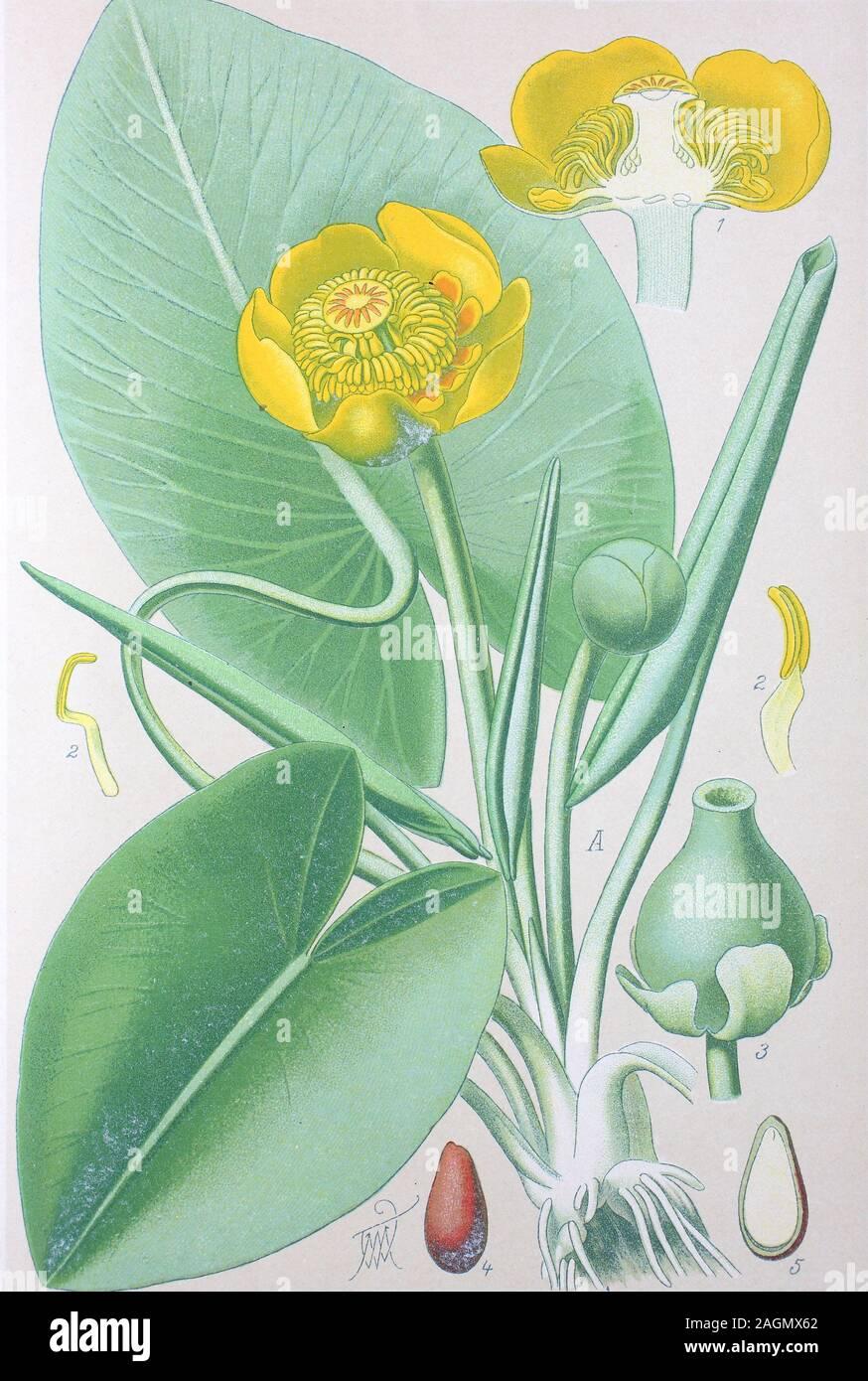 Exot plantes graines exotiques semences zierpflanze Jaune-Eau Lily