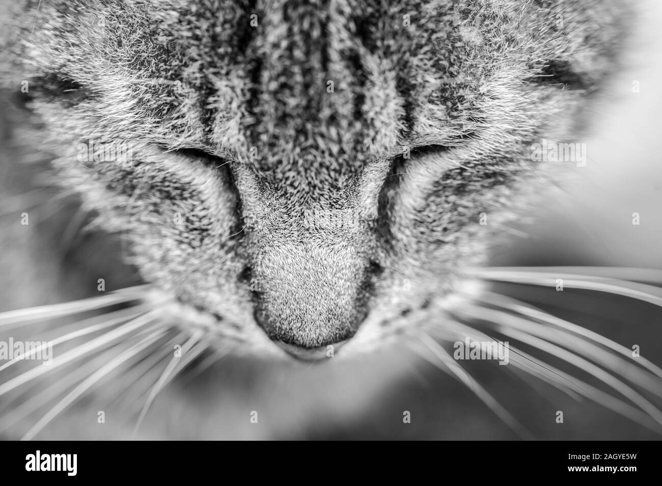 Close-up portrait de chat tigré. Noir et blanc. Fermé les yeux. Chat endormi. Banque D'Images