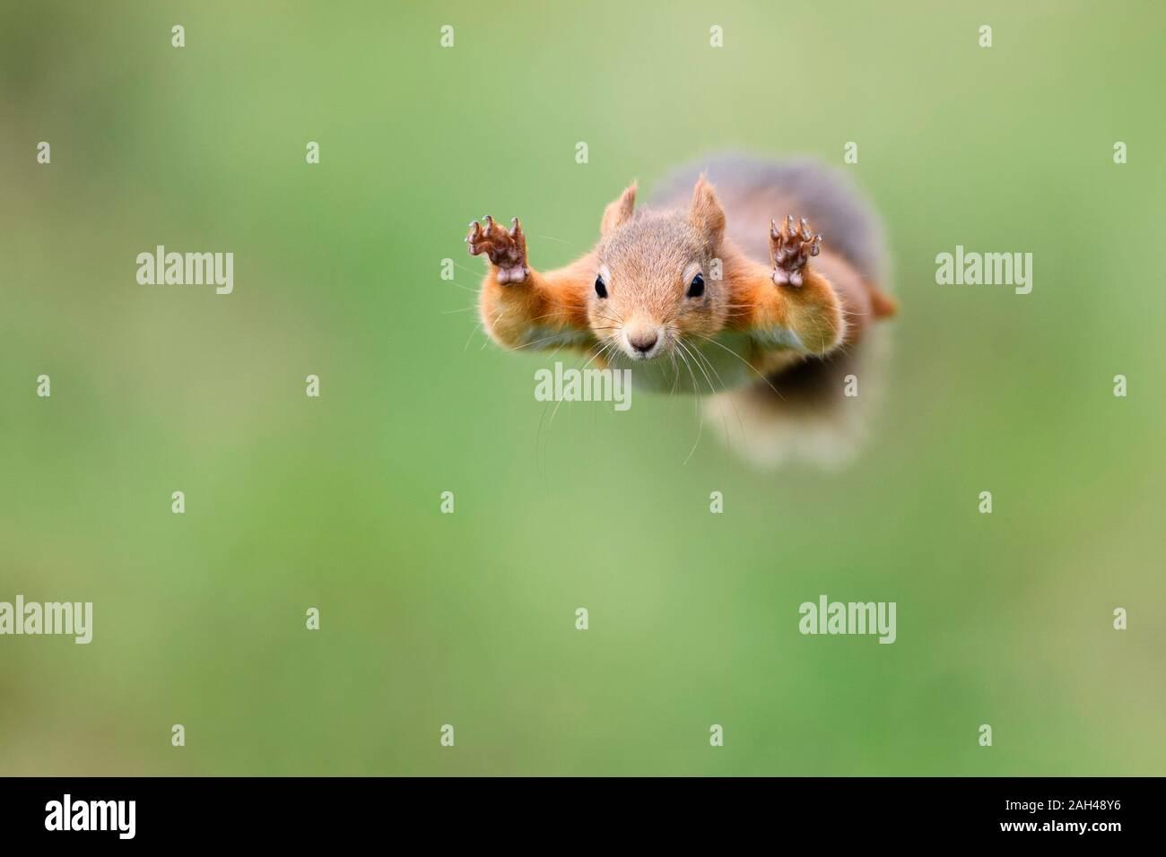 Le saut de l'Écureuil rouge Banque D'Images