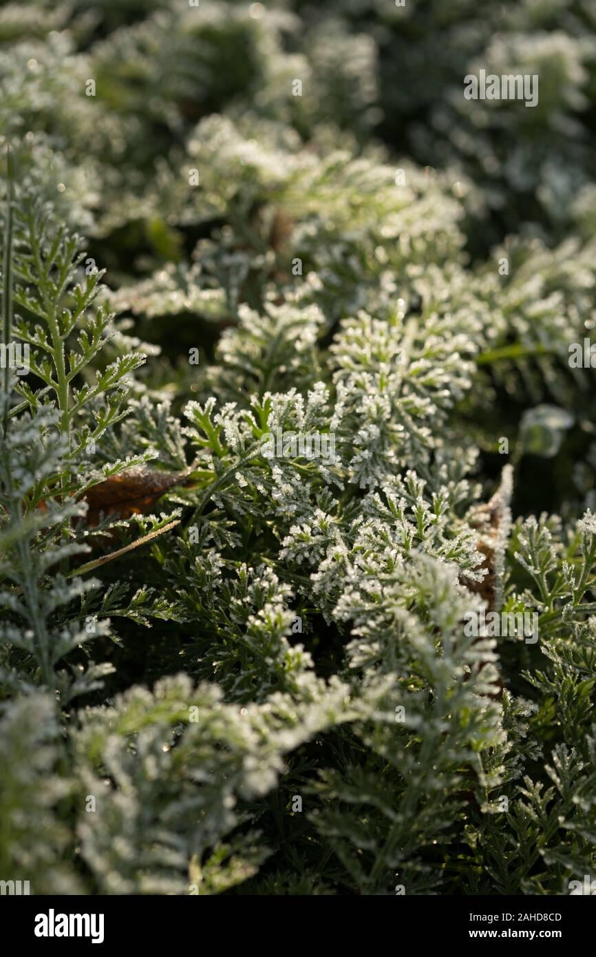 Feuilles vert fougère recouverte de givre en hiver. Hiver Frosen fougères. Frozing feuilles en hiver. Banque D'Images