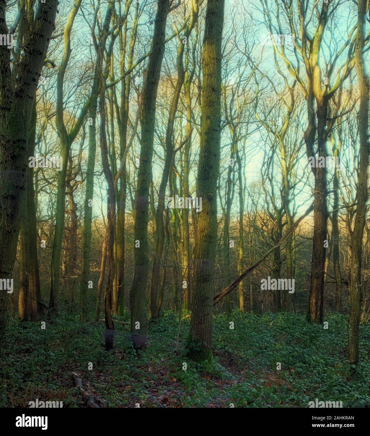Vue sur les bois d'hiver des arbres principalement droits avec un faible soleil d'hiver, Londres, Angleterre, Royaume-Uni, Europe Banque D'Images