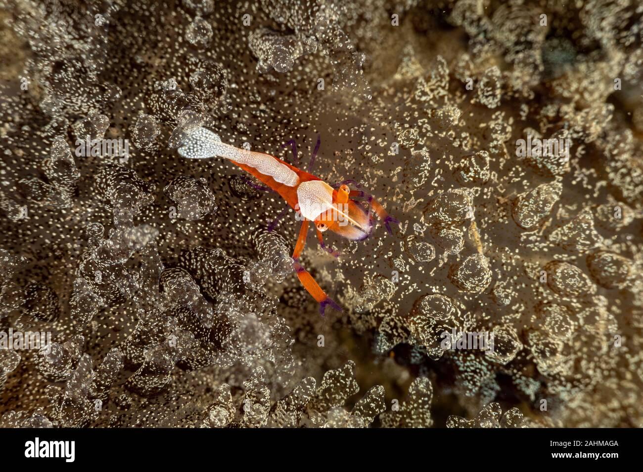 L'empereur, la crevette Periclimenes imperator, est un organisme de crevettes avec une large distribution à travers l'Indo-Pacifique Banque D'Images