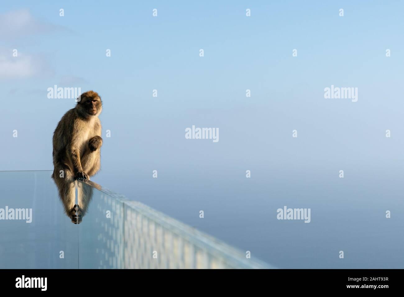 Un macaque de Barbarie se trouve sur le bord de l'une passerelle avec la vue à la mer. Les seuls singes sauvages en Europe, les macaques de Barbarie à Gibraltar, Royaume-Uni. Banque D'Images