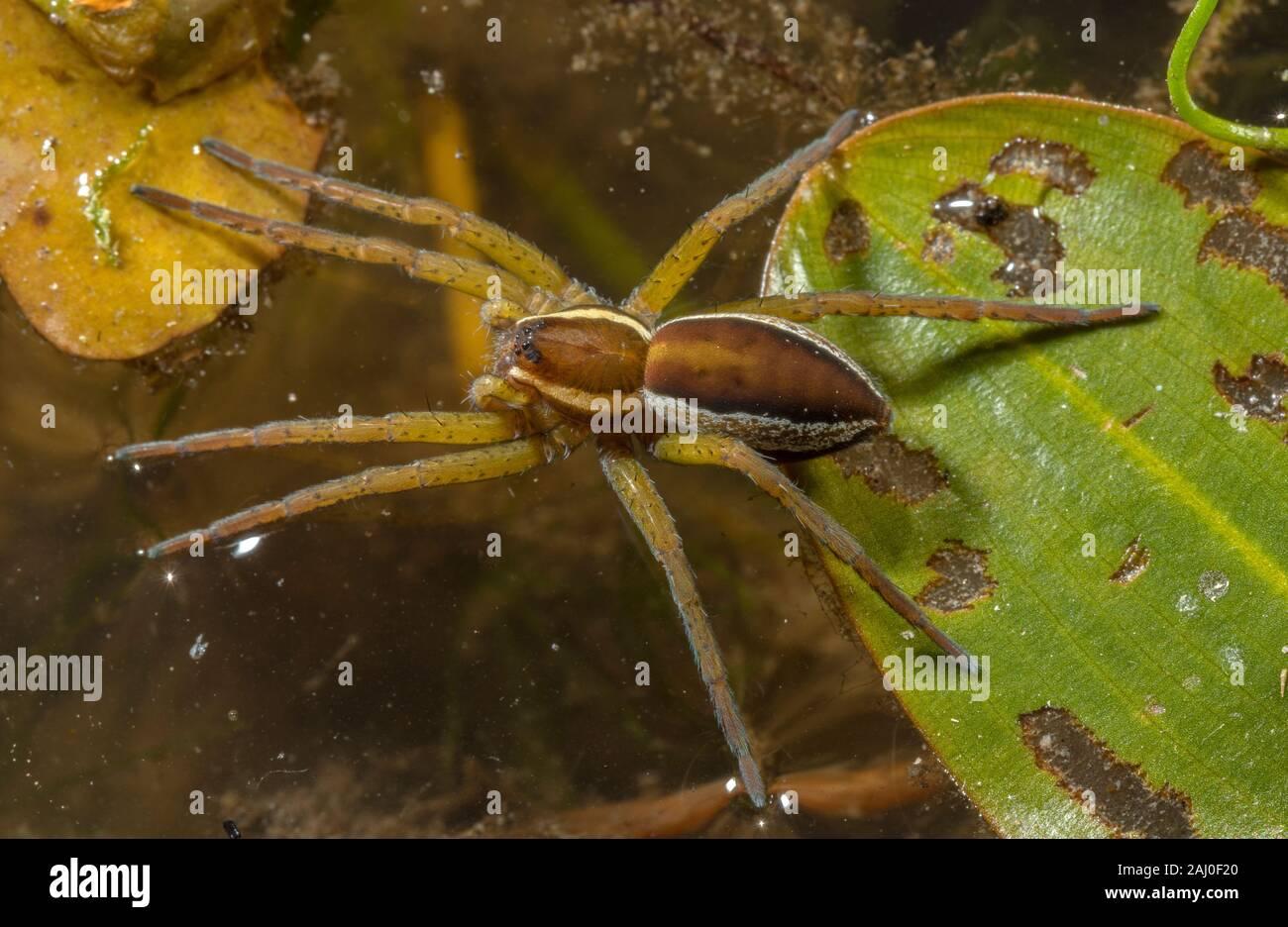 Femme araignée Dolomedes fimbriatus, radeau; une araignée semi-aquatique potamot, assis sur le plomb. Étang, Dorset. Banque D'Images