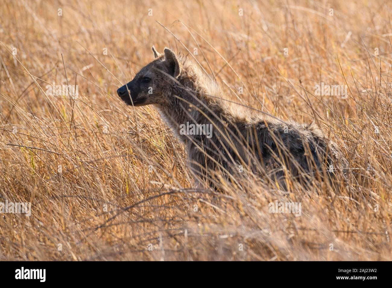 L'Hyène tachetée (Crocuta crocuta), Khwai Réserve privée, Okavango Delta, Botswana, Africa Banque D'Images