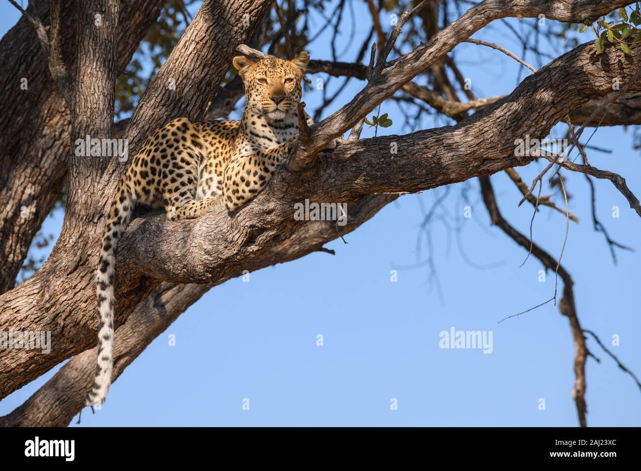 Femme Léopard (Panthera pardus) dans un arbre, Khwai Réserve privée, Okavango Delta, Botswana, Africa Banque D'Images