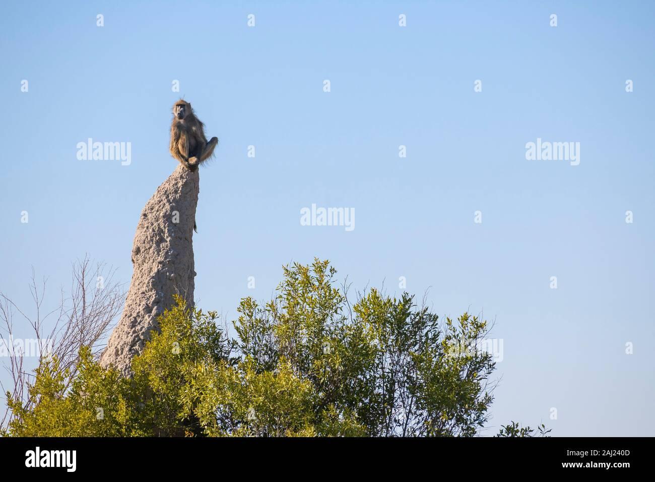 Babouin Chacma (Papio ursinus) sur vigie assis sur une termitière, Macatoo, Okavango Delta, Botswana, Africa Banque D'Images